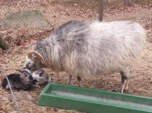 Goats_Hisingsparken_Bonny